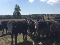 cows at malcolms